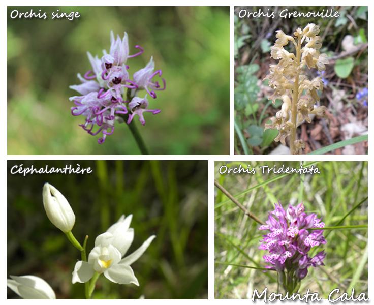 Orchidées 1 copie Balade naturaliste sur le thème des orchidées   La Bollène Vésubie