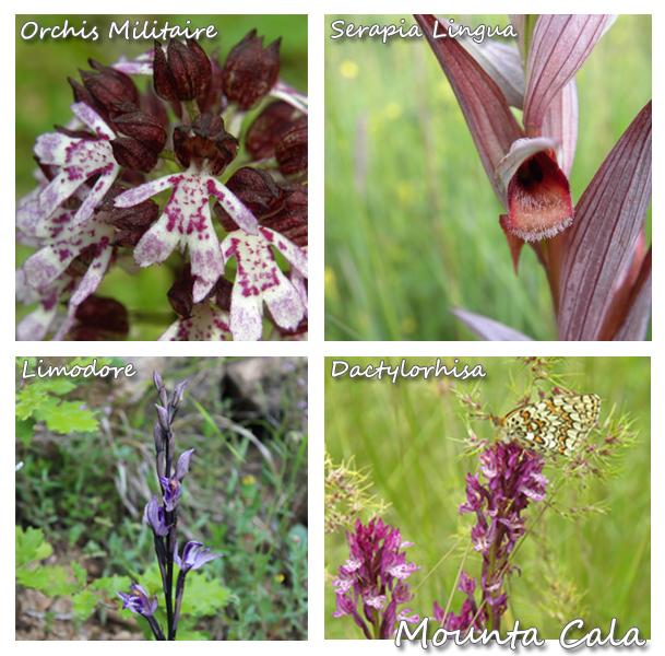 Orchidées 2 copie Balade naturaliste sur le thème des orchidées   La Bollène Vésubie